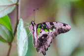 close-up tailed jay butterfly (graphium agamemnon), green leaf