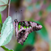 detailed side view tailed jay butterfly (graphium agamemnon)