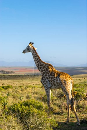 A giraffe standing in a grassy field...