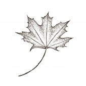 Maple leaf Vector vintage engraved illustration Isolated on white background Vector maple autumn drawing leaf Hand drawn detailed botanical illustration