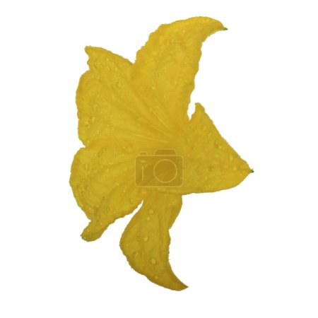 Photo for Yellow cucumber flower isolated on white background - Royalty Free Image