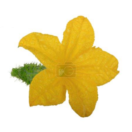 Photo pour Fleur de concombre jaune isolé sur fond blanc - image libre de droit