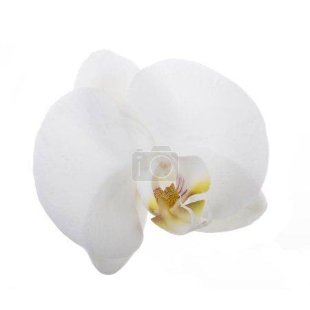 Photo pour Belle fleur blanche d'orchidée, vue rapprochée - image libre de droit