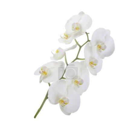 Photo pour Plante d'orchidée en fleurs isolée sur fond blanc - image libre de droit