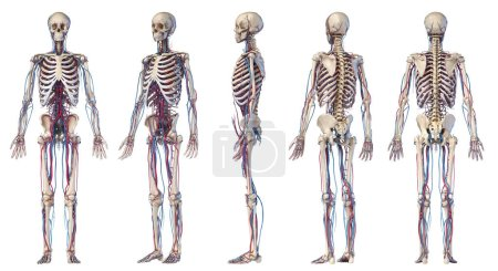 Photo pour Anatomie du corps humain. Illustration 3D des systèmes squelettique et cardiovasculaire. Vue à angles multiples. Sur fond blanc . - image libre de droit