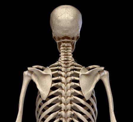 Photo pour Anatomie humaine, système squelettique du Torso. vu de dos. Sur le fond noir. - image libre de droit