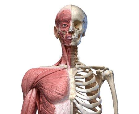 Photo pour Corps humain, système squelettique et musculaire du torse, vue de face sur fond blanc. Anatomie 3d - image libre de droit