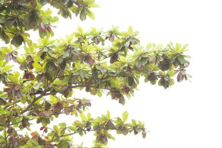 Foto de Rama de árbol con hojas verdes sobre fondo blanco - Imagen libre de derechos