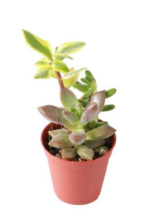 Photo pour Succulent, cactus ou cactus en pot qui est plante maison dans un petit pot en plastique sur fond blanc isolé - image libre de droit