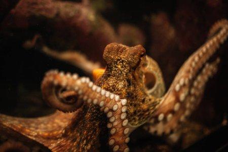 Octopus in the aquarium Selective focus Octopus lo...