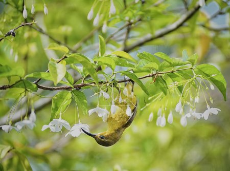 Photo pour Hummingbird perching upside down on the jasmine flower tree - image libre de droit