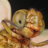 Macro shot of dragonfly