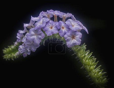 Foto de Hermosa flor de heliotropo salvaje indicum - Imagen libre de derechos