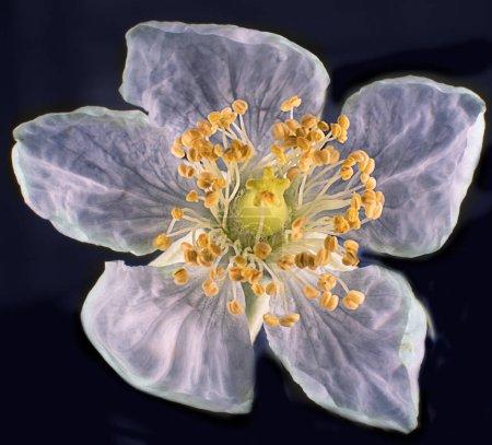 Photo for Asian muntingia calabura strawberry white flower - Royalty Free Image