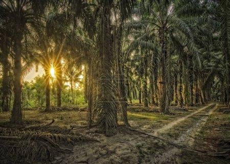Foto de Sunset beaming at oil palm area. - Imagen libre de derechos