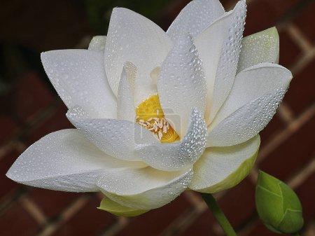 Photo pour White petal lotus flower - image libre de droit