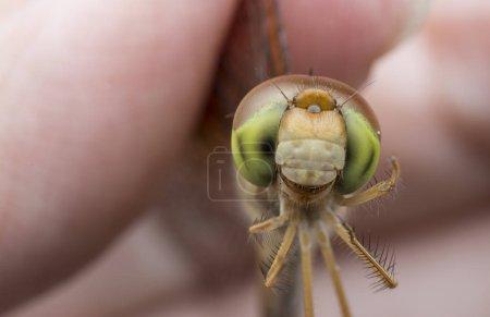 Photo pour Gros plan de libellule femelle - image libre de droit