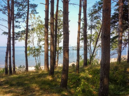 Photo pour Vue du golfe de Riga à travers la pinède - image libre de droit