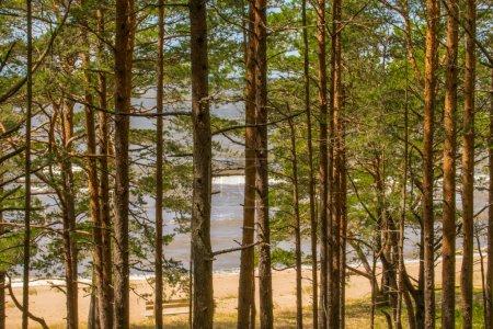 Photo pour Beau paysage de la côte de la mer Baltique avec des pins au premier plan et un ciel bleu clair . - image libre de droit