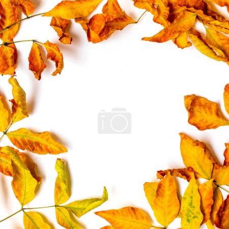 Photo for Autumn Frame  with golden maple  leaves isolated on white background. Autumn sale background layout decorate with leaves. Flat lay. Top view. Copy space - Royalty Free Image