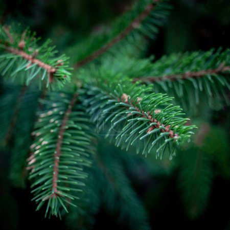 Close up of fir tree branches