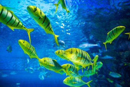 Flock of Yellow fish underwater