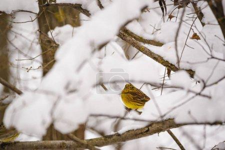 Foto de Pájaro de escribano en rama de árbol - Imagen libre de derechos