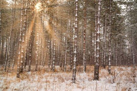 Foto de Paisaje de ensueño con bosques de invierno y brillantes rayos de sol - Imagen libre de derechos