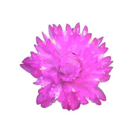 Gomphrena globosa aka globe amaranth on a plain wh...