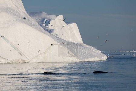 Photo for Whale dive near Ilulissat among icebergs. Their source is by the Jakobshavn glacier. The source of icebergs is a global warming and catastrophic thawing of ice, Disko Bay, Greenland, UNESCO - Royalty Free Image