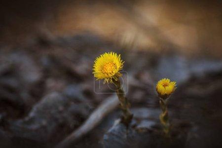 Gelbe Blumen auf verschwommenem Hintergrund in Großaufnahme. zwei Blumen Hahnenfuß. Heilpflanze. die ersten Frühlingsblumen in Wald und Feld, Wiesen.