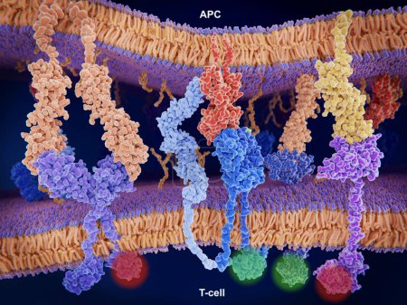 Photo pour Interaction de Mhc-Ii (rouge) avec le récepteur des cellules T (bleu) et Cd4 (bleu clair) et B7-1 (orange) avec Cd-28 (bleu foncé) T-cellules alors que l'interaction du P7-1 avec Ctla-4 (violett) et Pd-L1 (jaune) avec Pd-1 désactive T-cellules - image libre de droit