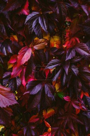 Photo pour Fond d'écran d'automne Feuillage luxuriant d'automne.Feuilles violettes, roses et jaunes. - image libre de droit