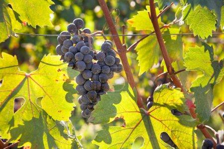 Photo pour Raisins rouges sur la vigne - image libre de droit
