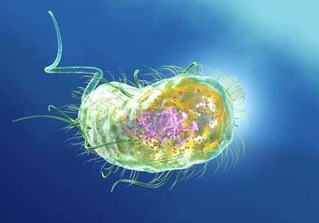 Escherichia coli bacteria (E. coli). Scientificall...