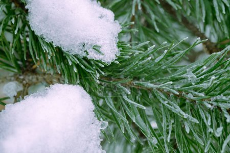 Photo for Pine tree green branch covered in snow, close-up. - Royalty Free Image