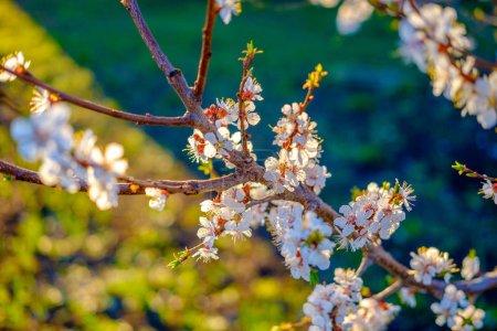 Photo pour Bel arbre de printemps fleurissant dans le verger à l'extérieur - image libre de droit