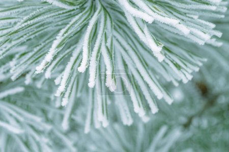 Photo for Pine tree green needles covered in snow, close-up. - Royalty Free Image