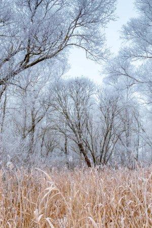 Foto de Hierba de campo y árboles cubiertos de escarcha en el campo invernal - Imagen libre de derechos