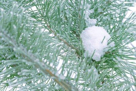 Photo pour Pin à aiguilles arbre vert couvertes de neige, gros plan. - image libre de droit