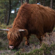 A scottish highlander who stands in the beautiful ...