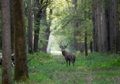 Young red deer with small antlers walking in forest in summer time. Wildlife in natural habitat