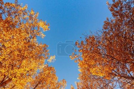 Photo pour Vue d'en bas sur les sommets des trembles dans la forêt d'automne contre le ciel bleu, paysage coloré d'automne avec l'espace de copie. - image libre de droit