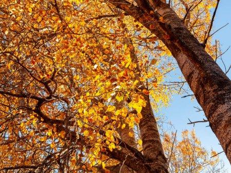 Photo pour Vue d'en bas sur les sommets des trembles dans la forêt d'automne, paysage coloré d'automne. - image libre de droit