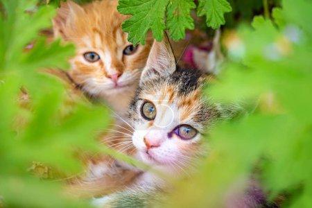 Photo pour Deux chatons jettent un coup d'oeil par les feuilles. Chats. Chat sans-abri. Chats non généarés. - image libre de droit