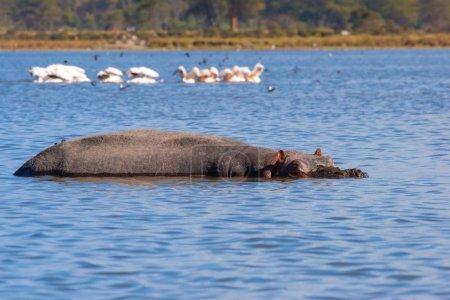 Photo pour Le Kenya. L'Afrique. Lac Naivasha au Kenya. Behemoth se trouve immergé dans l'eau dans le lac Naivasha. Un hippo africain. Animaux sauvages du Kenya. Voyage en Afrique . - image libre de droit