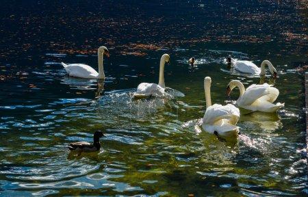 Photo pour Beau cygne nageant dans les eaux cristallines du lac de Hallstatt (Autriche ). - image libre de droit