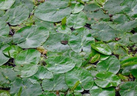 Photo pour Fleur de nénuphar blanc sur l'étang dans le jardin botanique. - image libre de droit
