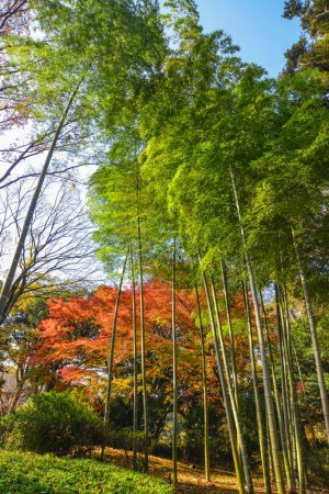 Photo for Maple trees with colorful leaves at autumn garden in Tokyo, Japan. - Royalty Free Image