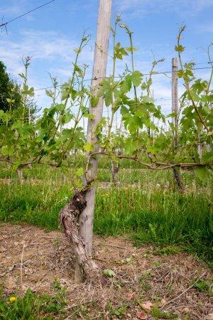 Photo pour Le vignoble. Viticulture à Barolo, Langhe, Piémont, Italie, patrimoine de l'Unesco. Dolcetto, Nebbiolo, Barbaresco vin rouge . - image libre de droit
